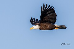 IMG_8847 american bald eagle 'fly by' (starc283) Tags: starc283 eagle flickr flicker americanbaldeagle bird birding birds baldeagle baldeagles nature naturesfinest naturewatcher outdoors outdoor wildlife winter flight fly