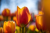 waiting for spring ... (Schwarzwaldfotograf) Tags: tulip dof nikon d750 35mm 18 vc tamron colors colorful sunny