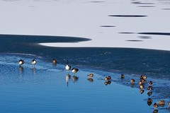 Almost frozen (karinriga) Tags: saarland bostalsee see ducks geese gänse enten zugefroren frozen lake