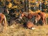 Wild Horses (pamfromcalgary) Tags: wildhorses pamhawkes alberta equines autumn nordegg