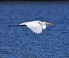 Straight as an Arrow (Darts5) Tags: greategret whitebird whiteheron egret egrets bird birds bif birdinflight 7d2 7dmarkll 7dmarkii 7d2canon ef100400mmlll closeup canon7d2 canon7dmarkll canon7dmarkii canon canonef100400mmlii