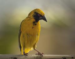 A thoughtful Village Weaver (Rogcourt) Tags: mauritius birds colourfulbirds weaver villageweaver