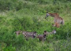 Just Friends (Brook-Ward) Tags: hdr brook ward just friends south africa kruger national park zebra girafe aniamal game drive safari travel vacation holiday