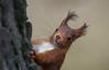 Écureuil roux (JeanJoachim) Tags: écureuilroux sciurusvulgaris rodentia sciuridae pentaxk5ii redsquirrel écureuildeurasie eichhörnchen smcpentaxda300mmf4edifsdm