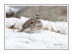 Horned Lark 2018 #2 (Tomcod) Tags: snow winter lark hornedlark avian feathers tail nature wildlife