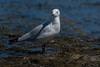 180114_Silver Gull_01 (Pusher141) Tags: applecrossforeshore ornithology bird birds d750 nikkor200500 silvergull feeding