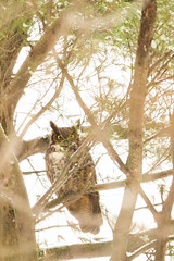 My First Owl! (brendon_curtis) Tags: canon 500mm f4l is usm 7dmkii long eared owl bokeh bokehlicious eyes portrait super telephoto tree