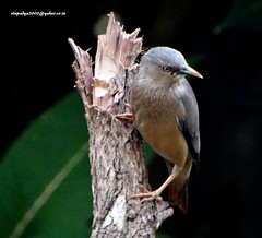 DSC00750 Chestnut-tailed Starling (Sturnus malabaricus) (vlupadya) Tags: greatnature aves fauna indianbirds whitethroated ground thrush kundapura karnataka geokichla