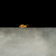 Katiannidae Genus nov.1 sp. nov (markhortonphotography) Tags: surrey springtail wildlife surreyheath thatmacroguy globby nature katiannidaegenusnov1spnov markhortonphotography globularspringtail insect collembola macro invertebrate