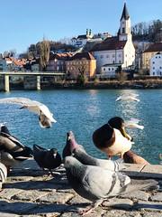 Die Ratten der Lüfte am Inn (teresa_ohne_h) Tags: vögel tauben dreiflüssestadt innstadt inn passau