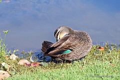 Pacific Black Duck - preening (0545) (Oz Nature Shots) Tags: pacificblackduck duck ducks pacific black bird birds wader large waterfowl chestnut dabbling australia birdlife emmysilvius emmy silvius oznatureshots fauna nature wings bill white green brown grey buff rocks victoria vic southaustralia sa water wetlands river bay feathers anassuperciliosa preening flight flying stripe