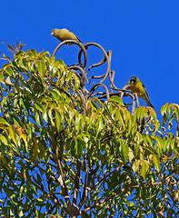 Up in the treetop (mariposa lily) Tags: bird birds yellowbird yellowbirds goldfinch goldfinches treetop nikon nokond3300 d3300