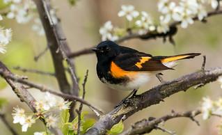 IMG_0276  American Redstart_warbler