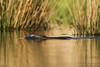 Beaver in Golden Light (Explore 1/22/18) (tkfranzen) Tags: beaver brickpond nocturnal watermanconservationeducationcenter owegony upstateny tnclivenature animalplanet
