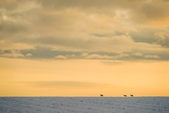 Deer Family (CoolMcFlash) Tags: animal silhouette horizont horizon sky winter snow cold deer loweraustria landscape nature cloud twilight light weather fujifilm xt2 goldenhour tier kontur himmel schnee kalt reh niederösterreich landschaft licht abend natur wolke zwielicht fotografie photography xf 18135mm f3556r lm ois wr sunset dusk copyspace