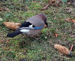 ...die oder die ! (peterphot) Tags: vögel birds eichelhäher tamron200 sachsen sony winter