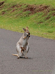 Happy Australia Day (Tatters ✾) Tags: australia bunyamnp joey kangaroo marsupial wallaby