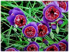 Green leaves of Papaver somniferum are 7.6-15.2 cm long (jayjayc) Tags: flickr18 jaycjayc kualalumpur malaysia floweringplants papaversomniferum fringedpoppy breadpoppy purple red green