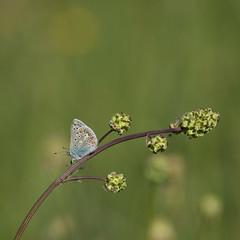Petit bleu des champs *---- ° (Titole) Tags: argus titole nicolefaton grass squareformat