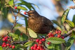 female blackbird (colin 1957) Tags: blackbird chats thrushes 1001nights