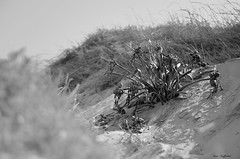 ° Still life in the dunes (° Ivan) Tags: torre chianca lecce puglia apulia italy italia plant flora maquis shrubland dry death still life dunes sand beach black white bw