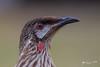 Red Wattlebird (R. Francis) Tags: anthochaeracarunculata redwattlebird dorrigo ebor eborfalls guyfawkesgorge gutfawkesnationalpark nsw newsouthwales northernnsw midnorthcoast ryanfrancis ryanfrancisphotography