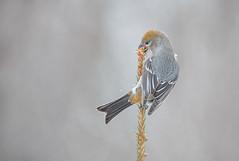 Pine Grosbeak fem (Joe Branco) Tags: joebrancophotography nikond850 nikon branco joe birds wildlife green