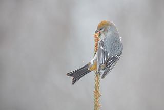 Pine Grosbeak fem