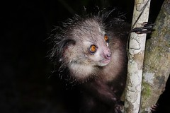 Aye-aye Lemur (M) (Daubentonia madagascariensis) Photographed At Night (Susan Roehl) Tags: •madagascar2017 islandofmadagascar offtheeastcoastofafrica palmariumreserve ayeaye nocturnallemur daubentoniamadagascariensis animal mammal omnivore strepsirrhineprimate genusdaubentonia familydaubentoniidae rodentliketeeth specialthinmiddlefinger fillsnicheofwoodpecker largestnocturnallemur percussiveforaging consideredevilfolkbelief basedonsuperstition arboreal solitary sphericalnests sueroehl photographictours naturalexposures panasonic lumixdmcgh4 35x100mmlens handheld photographedatnight slightlycropped iucnnearthreatened tree forest ngc coth5 sunrays5 specanimal npc