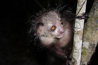 Aye-aye Lemur (M) (Daubentonia madagascariensis) Photographed At Night