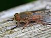 Hybomitra ciureai - Levels yellow-horned horsefly (Carrie Williams_13) Tags: hybomitraciureai hybomitra tabanidae brachycera diptera levelsyellowhornedhorsefly hairyeyedhorsefly horsefly uk wildlife rspbminsmere rspb minsmere suffolkcoast suffolk female insect invertebrate nikon nikond3100 sigma105mm sigma kenko extensiontubes hfdf