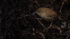 Jagender Zaunkönig (Wren) (tzim76) Tags: zaunkönig wren jagd nahrung nahrungssuche kompost haufen dunkel spinnentier wildlife nature birds outdoor
