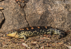 Highlands Blotched Blue-tongue Lizard (Tiliqua nigrolutea). (jasonsulda) Tags: highlands botched bluetongue lizard tiliqua nigrolutea skink reptile blue tongue wildlife nature animal fauna southern australia granite rock leaves colour portrait