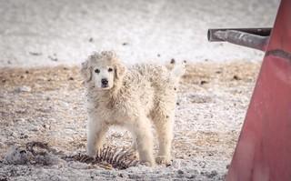 Sheepdog in training