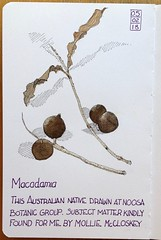 Macadamia (oxlade134) Tags: australian native fruit nut macadamia pen ink drawing wash botanical