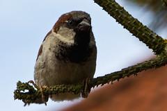 IMG_4798 (Lightcatcher66) Tags: spatzensparrows florafauna makros lightcatcher66