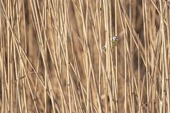 0700 Parus Caerleus (Hrvoje Simich - gaZZda) Tags: nature outdoors noperson animals bird color slavonia croatia europe nikond750 nikon sigma150500563 gazzda hrvojesimich