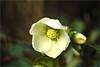 helleborus......... (atsjebosma) Tags: helleborus garden tuin winter 2017 atsjebosma groningen thenetherlands nederland wet nat druppel drops bloem ngc coth5