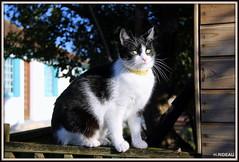 TANIA Portrait (Les photos de LN) Tags: chatte cat pet animaldomestique portrait européen félin blanc noir couleurs