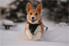 Dashing through the snow (Chris Lue Shing) Tags: nikond7100 sigma70300mmf456apodgmacro ontario canada dog corgi pet pembrokewelsh animal bokeh snow winter tongue ©chrislueshing running action puppy nikon sigma d7100 70300 explore explored