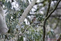 Chardonneret élégant (1) (Ezzo33) Tags: france gironde nouvelleaquitaine bordeaux ezzo33 nammour ezzat sony rx10m3 parc jardin oiseau oiseaux bird birds chardonneret élégant goldfinch