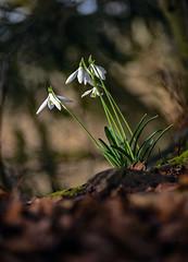 4 Snowdrops (c.richard) Tags: galanthusnivalis galanthus snowdrops sunshine symondsyat woodland woods forestofdean