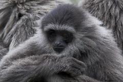 Javan Gibbon (ucumari photography) Tags: ucumariphotography javangibbon hylobatesmoloch animal mammal greensborosciencecenter nc north carolina february 2018 dsc9143 specanimal