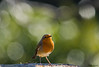 Petty vi augura una buona giornata ! (Danilo Agnaioli) Tags: bird natura perugia collinedelperugino umbria italia pettirosso canon7dmarkii