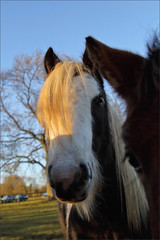 Inquisitive (meniscuslens) Tags: horse trust pony cob piebald paddock field rescue charity buckinghamshire