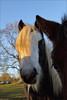 Inquisitive (meniscuslens) Tags: horse trust pony cob piebald paddock field rescue charity buckinghamshire