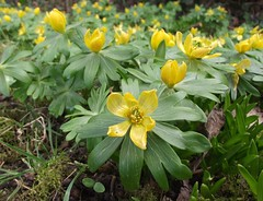 Eranthis hyemalis (Winter Aconite), Spinney Lane, Rabley Heath, Herts, 22.2.18 (respect_all_plants) Tags: winteraconite eranthishyemalis spinneylane rableyheath herts hertfordshire wildflowers
