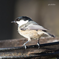 ' Scruffy' (picsfolio) Tags: birdwatching birding birds animal coaltit gardenbirds backyardbirds wildbirds wildlife nature naturalworld