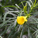 Cascabela thevetia (syn: Thevetia peruviana)