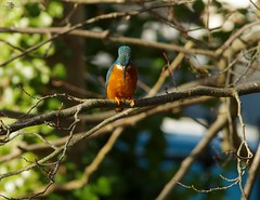 endcliffe park kingfisher sheffield 2018 (16) (Simon Dell Photography) Tags: endcliffe park bingham whitley woods forge dam kingfisher bird rare blue orange winter spring grey animal nature together wildlife sheffield botanical gardens simon dell photography 2018 feb 24 sunny detail high res perched sitting fishing